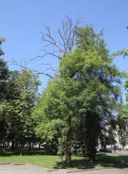 """2. """"Aušros"""" medis (uosis) Panevėžyje. 2015 m. T. Stasevičiaus nuotrauka"""