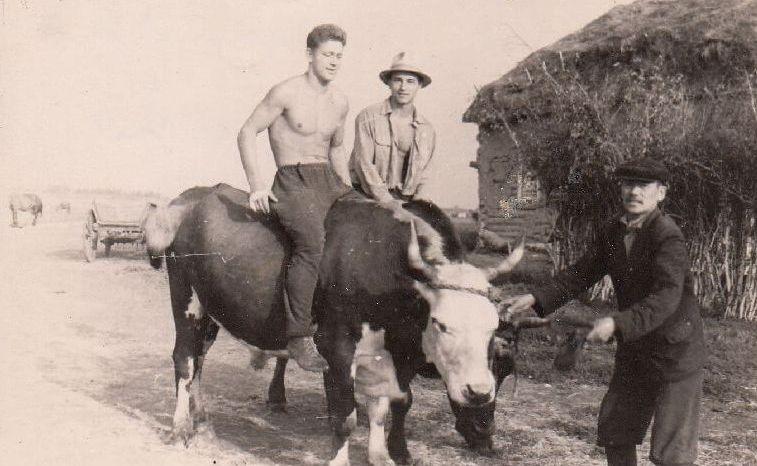 1.Panevėžietis A. Andrišiūnas (su skrybėle) joja ant jaučio. Kazachijos SSR plėšininės žemės. 1957 m. Nuotrauka iš Panevėžio kraštotyros muziejaus rinkinių